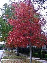 Shumard Red Oak