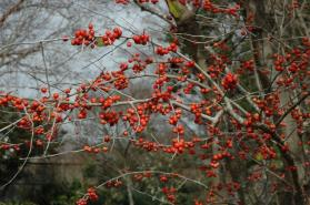 Possumhaw Holly