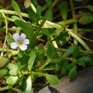 Coastal water hyssop/Bacopa monnieri. Source: Wiki Commons