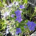 Blue waterleaf/Hydrolea ovata. Photo: Mary Carol Edwards