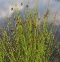 Common rush/Juncus effusus. source: Wiki Commons