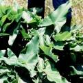 Arrow arum/Peltandra virginica. Source: Wiki Commons