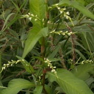 Smartweed/Polygonum hydropiperoides. Source: Wiki Commons