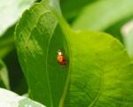 Ladybug on Leaf2