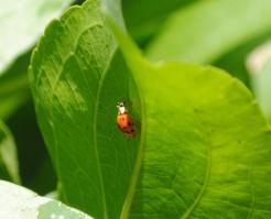 Ladybug on Leaf 2