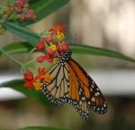 Monarch Butterfly on Milkweed2