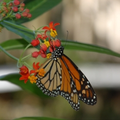 Monarch Butterfly on Milkweed 2